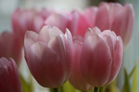 pink-tulips