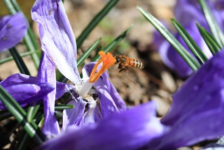 crocus-and-bee