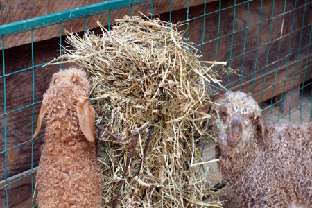 goats-and-hay