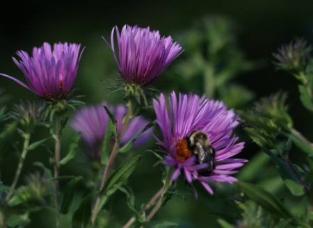 asters and bee
