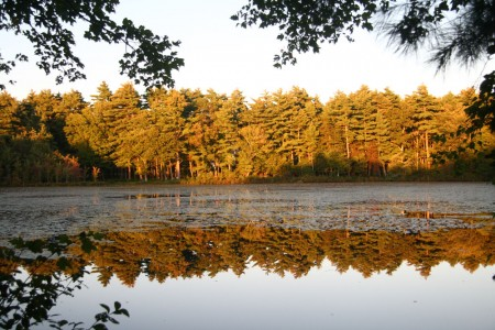 pine trees reflecting on cranberry pond
