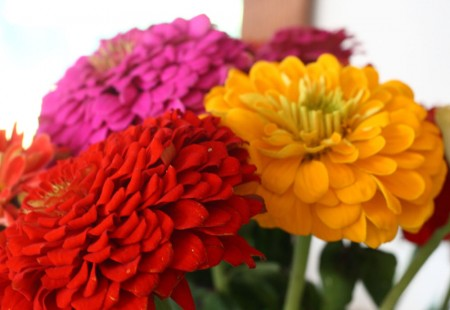 more birthday zinnias