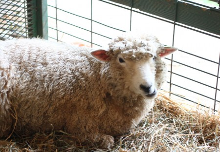 rhinebeck sheep