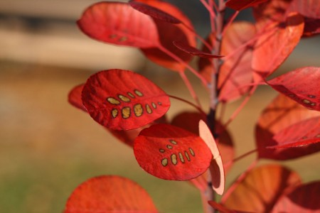 more round red leaves