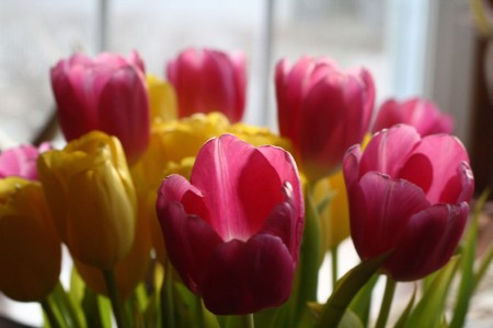 Pink and Yellow Tulips for blog