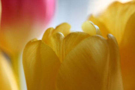 Yellow Tulip Petals for blog