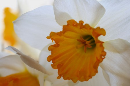 Orange and White Daffodil resized for blog