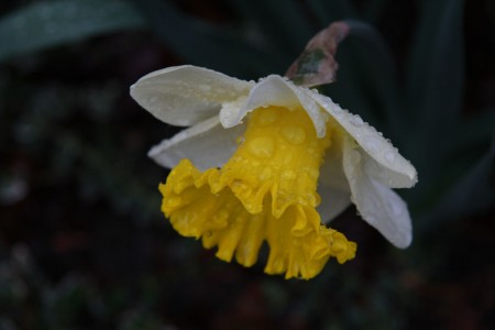 Raindrops on Daffodils
