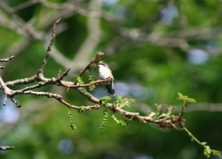 hummingbird in nut tree blog size