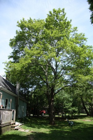Maple Tree Before blog size