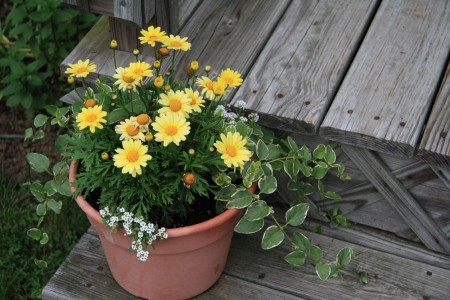 Yellow Daisies in a Pot blog size