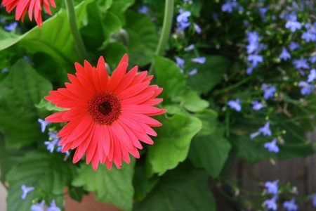 Gerbera Daisy with Lobelia blog size