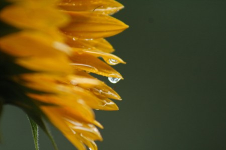 Sunflower With Raindrop blog size
