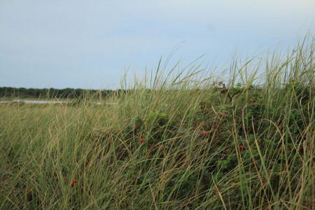 Beach Grass Mashpee Town Beach blog size