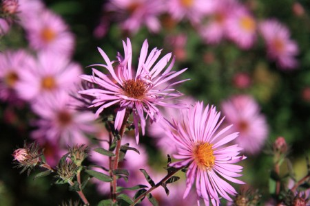 Fall Asters blog size