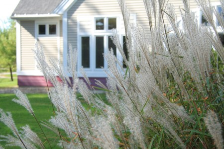 Ornamental Grasses at Library blog size