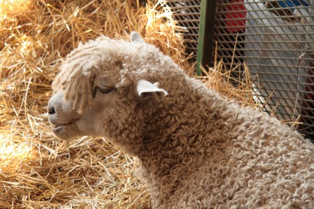 Rhinebeck Curly Sheep blog size