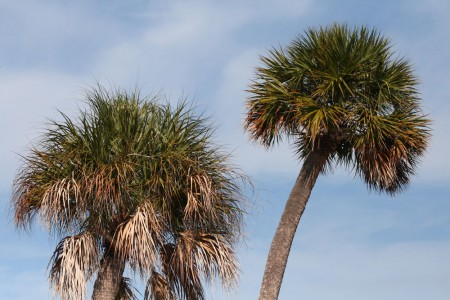 Palm Trees on Sanibel
