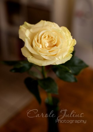 one rose for carole knits