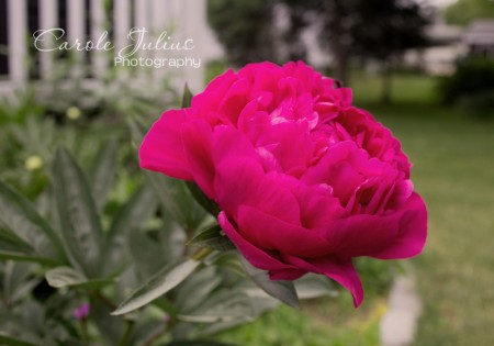 pink peony 2014 for carole knits