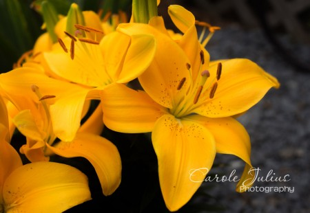 yellow daylilies for carole knits