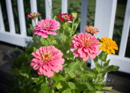 zinnias for carole knits
