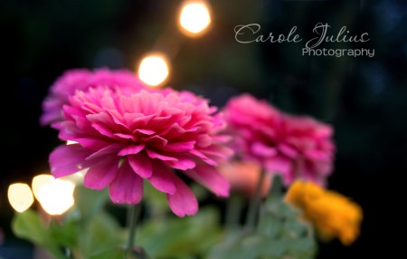pink zinnia with lights for carole knits