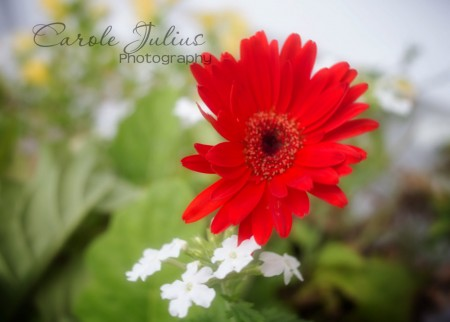 red gerbera for carole knits