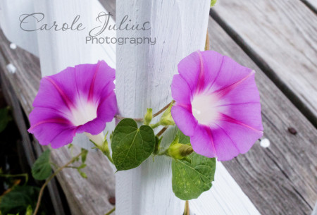 morning glories for carole knits