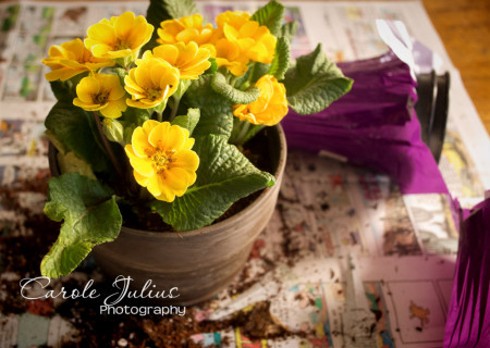 english primrose for carole knits
