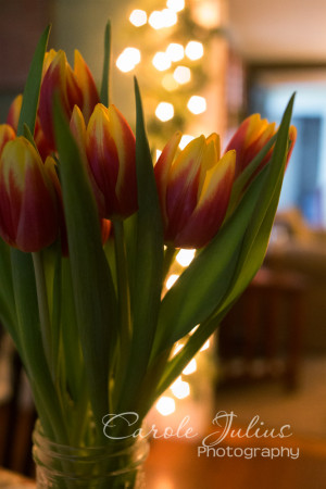 tulips and twinkle lights for carole knits