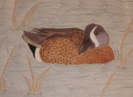 ambrynn blue winged teal