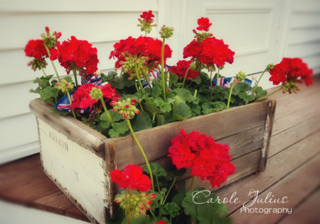 geraniums for carole knits
