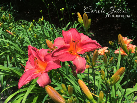 pink daylilies for carole knits