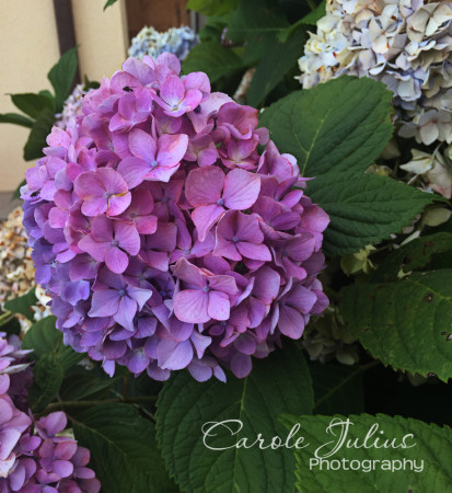 ppbc hydrangea for carole knits