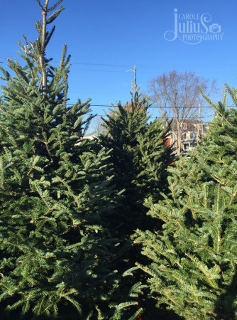 christmas tree sales 2015 for carole knits