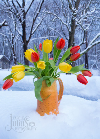 snowy tulips for carole knits