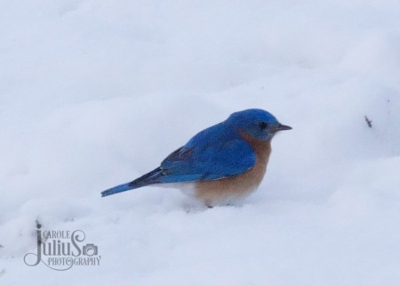 bluebird on snow