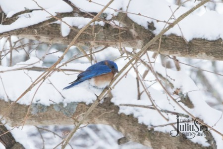bluebird on tree with snow for carole knits