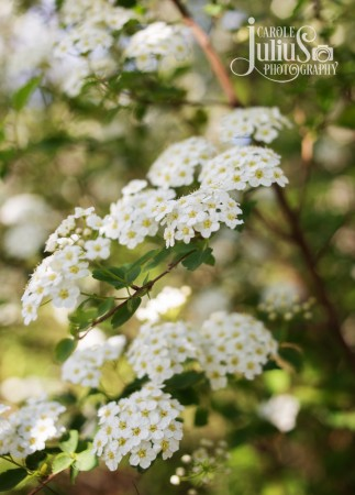 bridal wreath for carole knits