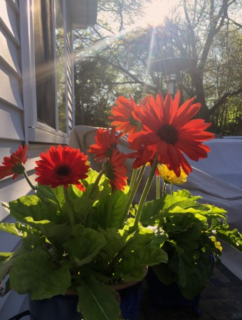 gerberas morning sun for carole knits
