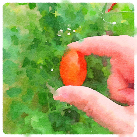 watercolor tomato for carole knits