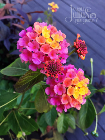 lantana-fall-2016-for-carole-knits