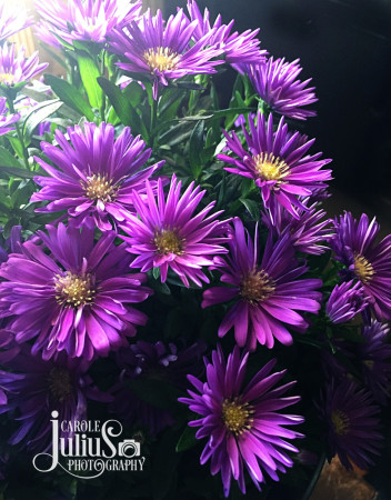 purple-asters-for-carole-knits