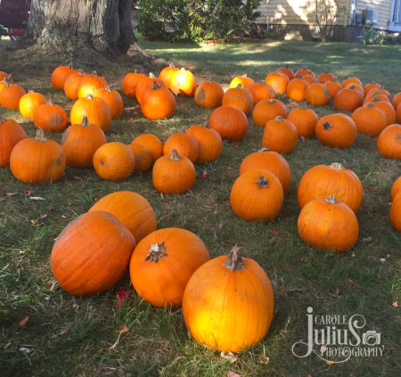 soule-homestead-pumpkins-for-carole-knits