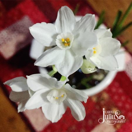 paperwhites-for-carole-knits