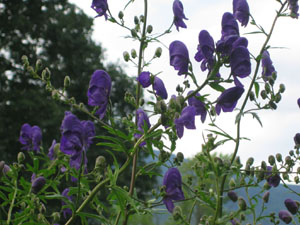 Hildene_Purple_Flowers.JPG
