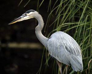 Lightmatter_greatblueheron2.jpg