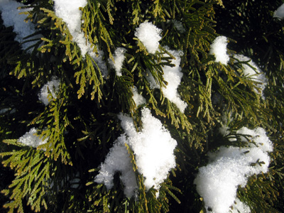 shrub_snow.jpg