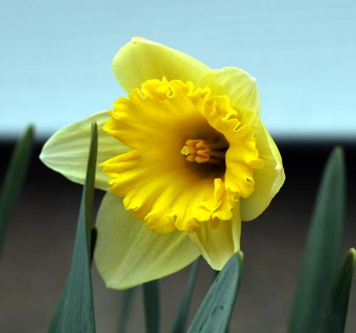 daffodil_april_08.jpg